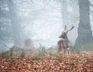 Deer in the morning mist.